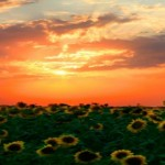 copertina-tramonto-girasoli