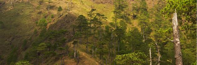 pinus_kesiya_forest_mtugo